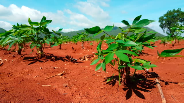 The cassava growing in plantation during the rainy season in Nigeria